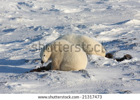 Polar mother and cub in the arctic near Hudson Bay eating kelp - stock photo