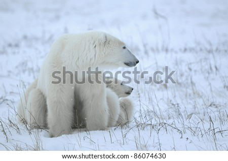 Polar she-bear with cubs on the snow. - stock photo