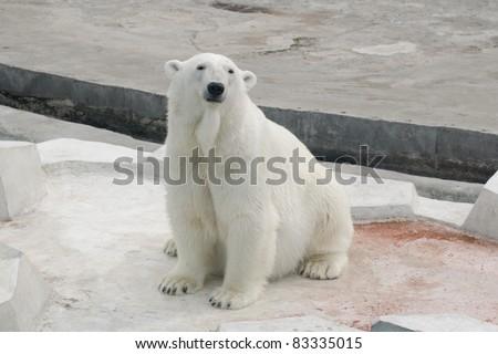 Polar white bear sitting - stock photo