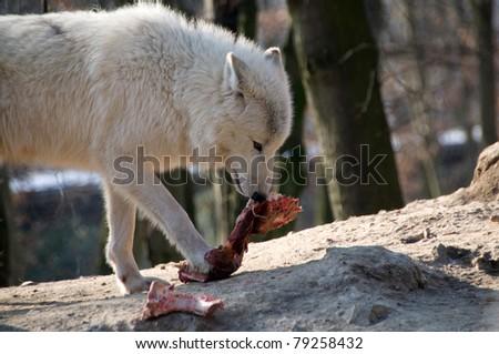 Polar wolf eats meat. - stock photo