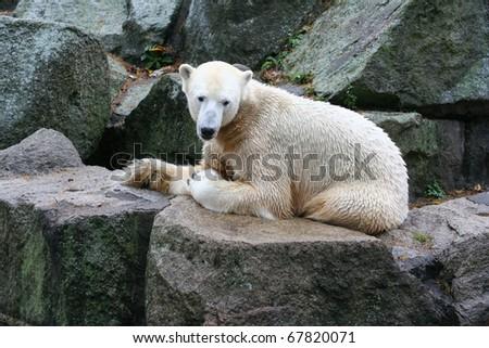 Polarbear at the Berlin Zoo in Germany - stock photo