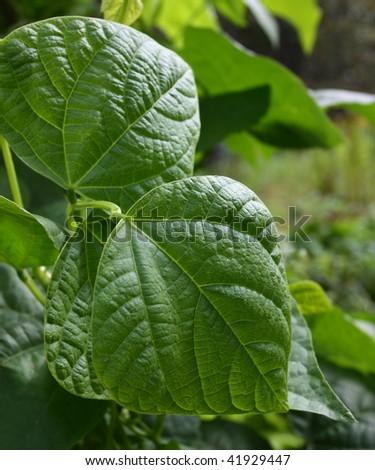 Pole bean leaves - stock photo