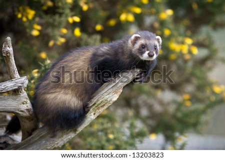 Polecat climbing on a branch - stock photo