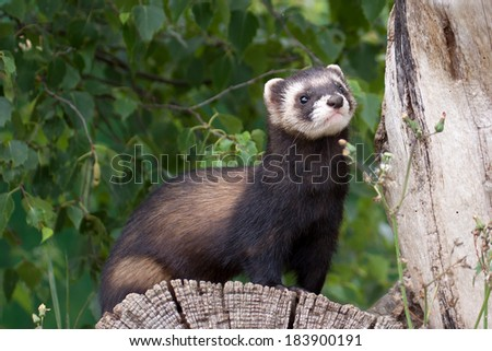 Polecat-coloured Ferret - stock photo