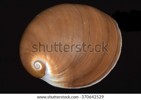 Polinices, a genus of predatory sea snails, marine gastropod commonly known as moon snails - stock photo