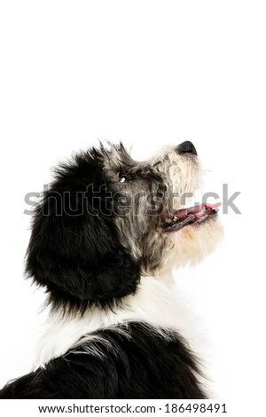 Polish Lowland Sheepdog profile shot isolated on a white background - stock photo