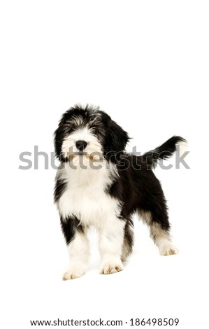 Polish Lowland Sheepdog stood isolated on a white background