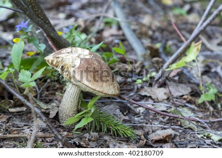 Polish mushroom in a forest. Wild mushrooms of a midland of Europe.