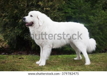 Polish Tatra Sheepdog. Role model in its breed. Also known as Podhalan or Owczarek Podhalanski - stock photo