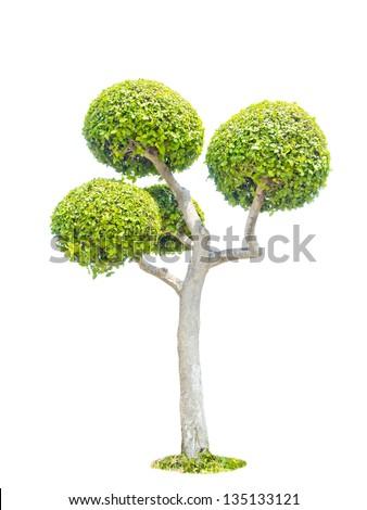 pollard trees isolated on white background - stock photo