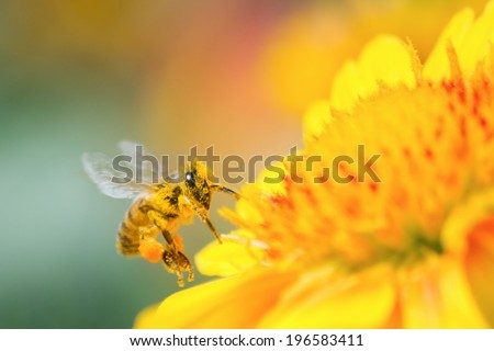 Pollen-covered honeybee and yellow daisy flower - stock photo