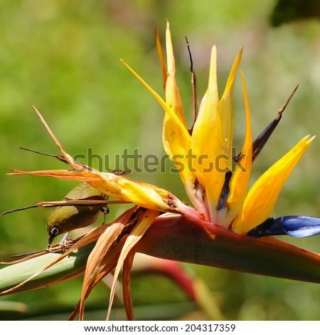 pollination of strelizia reginae by bird - stock photo