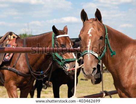 Polo Horses - stock photo