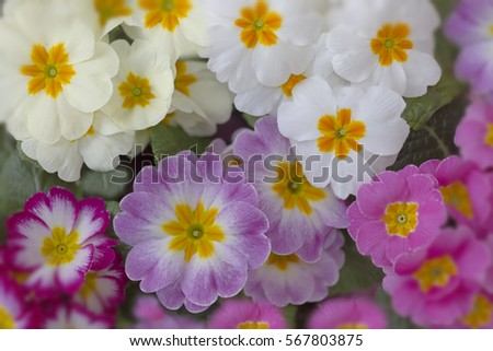 Polyanthus photographed using multiple exposures