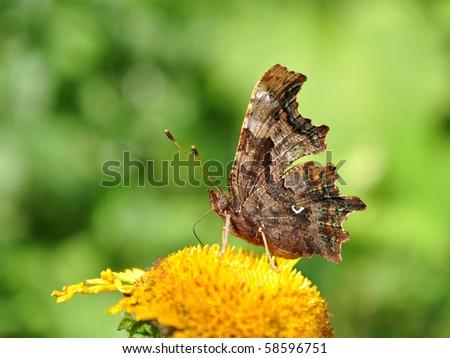 polygonia c- album, comma butterfly - stock photo