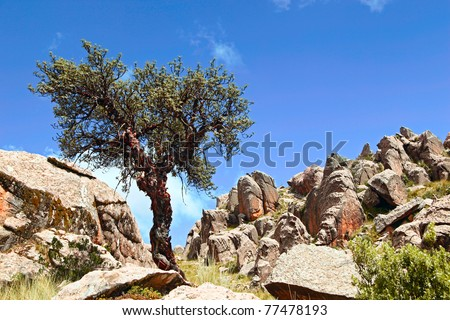 Polylepis taramacana highest living tree in andes of south america
