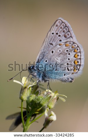 polyommatus icarus butterfly - stock photo