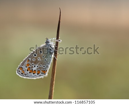 Polyommatus icarus butterfly (Common Bleu) covered with dewdrops in the early morning but with other light