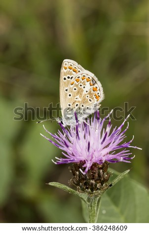 Polyommatus icarus, Common Blue butterfly from Lower Saxony, Germany - stock photo