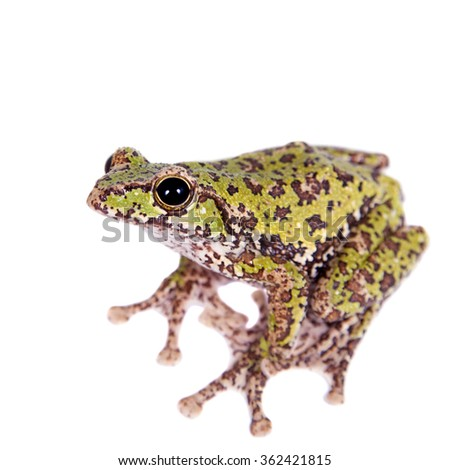 Polypedates duboisi, rare species of frog isolated on white background - stock photo