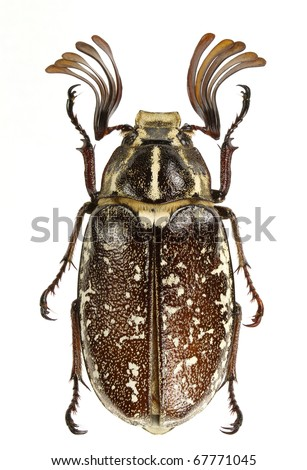 Polyphylla boryi (lined june beetle) isolated on a white background. - stock photo