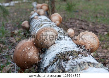polypore mushrooms on birch stem - Shallow DOF photo - stock photo
