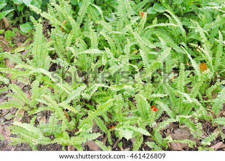 Polystichum munitum, the western swordfern or Bright Green Tuber sword-fern (Nephrolepis cordifolia) or Sword fern's leaves