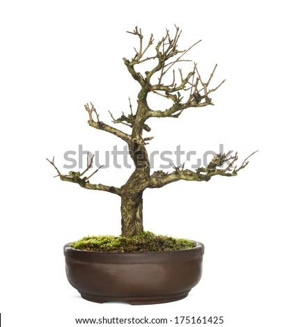 Pomegranate bonsai tree, Punica granatum, isolatedon white - stock photo