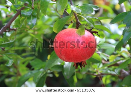 pomegranate close up on tree in a farm garden