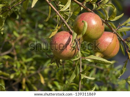 Pomegranate Fruit on Tree Branch. - stock photo
