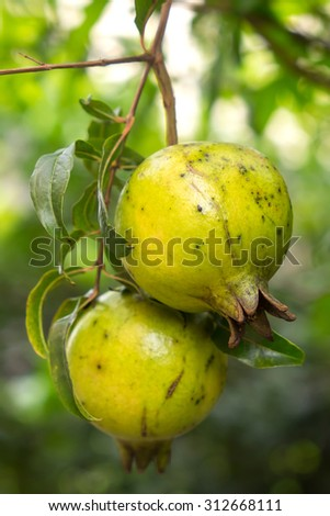 Pomegranate Fruit on Tree Branch with Shallow DOF