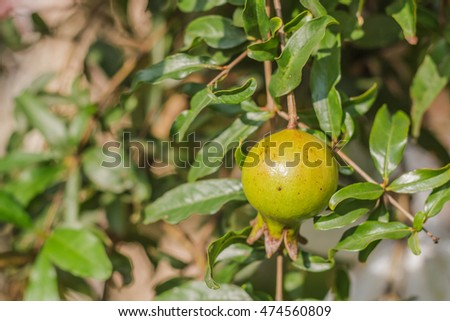 Pomegranate on tree branch, selective focus