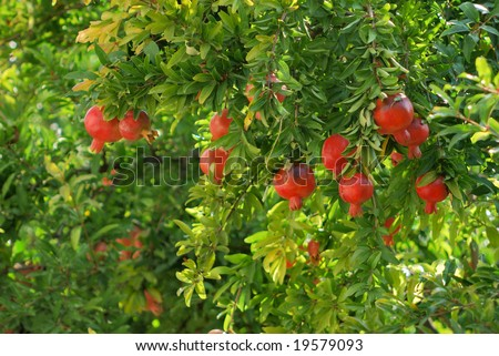 pomegranate on tree in a farm garden. - stock photo