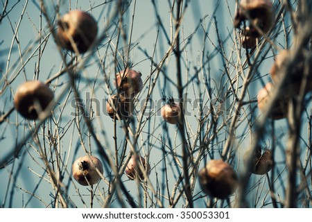 Pomegranate tree with bare twigs. Winter.  Selective focus. Toned photo. - stock photo