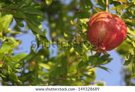 Pomegranate tree with fruit. Focus on the right, copy space on left - stock photo