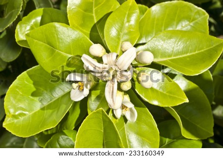 Pomelo flower in blossom with leaves. - stock photo