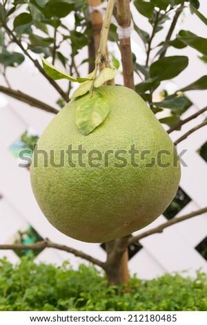 pomelo fruit hanging on tree - stock photo