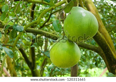 Pomelo fruit in the tree. - stock photo