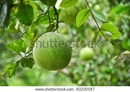 Pomelo fruit in the tree - stock photo