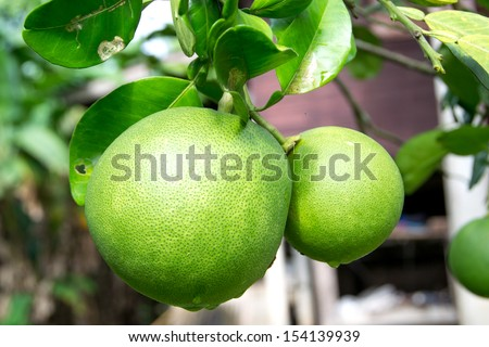 pomelo fruit on the branch tree - stock photo