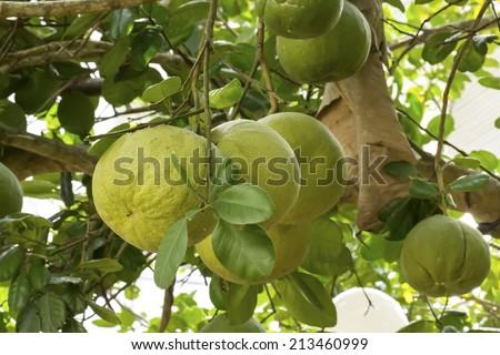Pomelo fruit on tree - stock photo