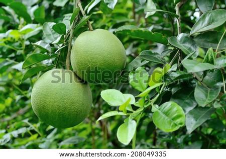 pomelo tree - stock photo