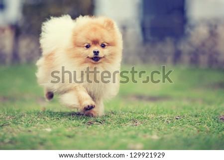 Pomeranian - stock photo