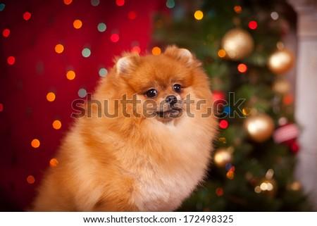 pomeranian, christmas, dog, Christmas and New Year - stock photo