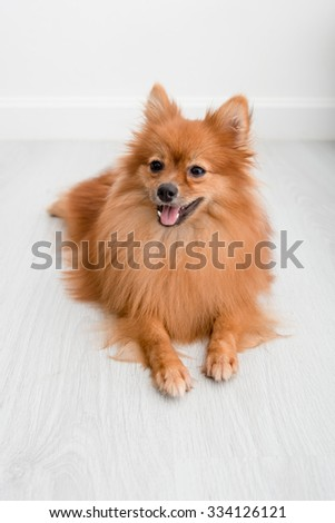 pomeranian dog cute pets happy in home - stock photo