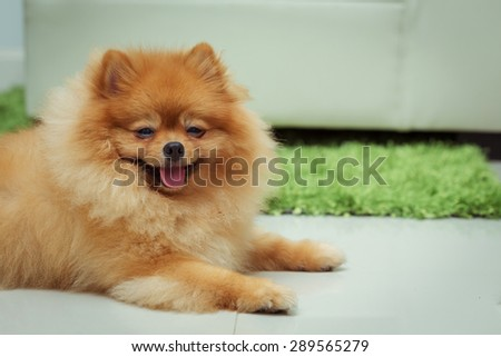 pomeranian dog cute pets happy in home, image used vintage filter - stock photo