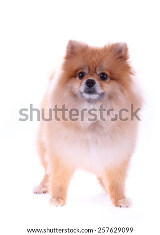 pomeranian dog cute pets isolated on white background - stock photo