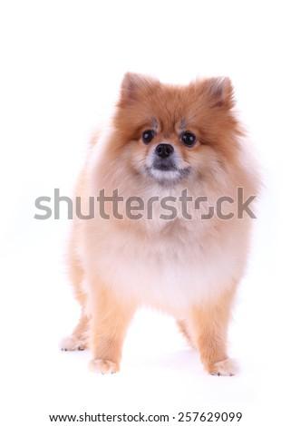 pomeranian dog cute pets isolated on white background - stock photo