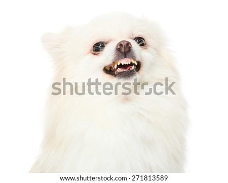 Pomeranian dog feeling angry - stock photo