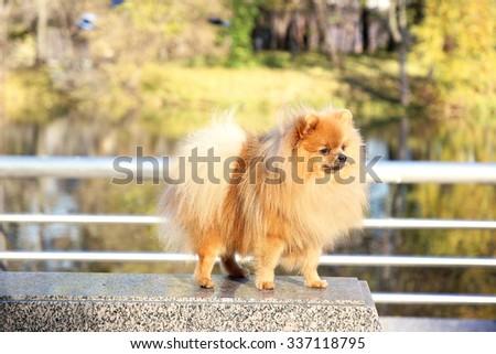 Pomeranian dog. Funny autumn pomeranian dog. Dog in autumn park. Serious dog. Cute dog - stock photo
